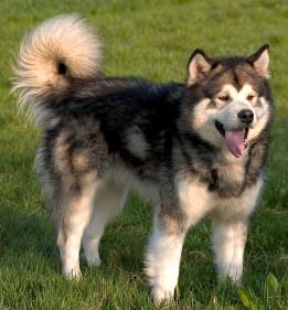 Malamutes are beautiful dogs, but may not be the best suited if you have small animals.